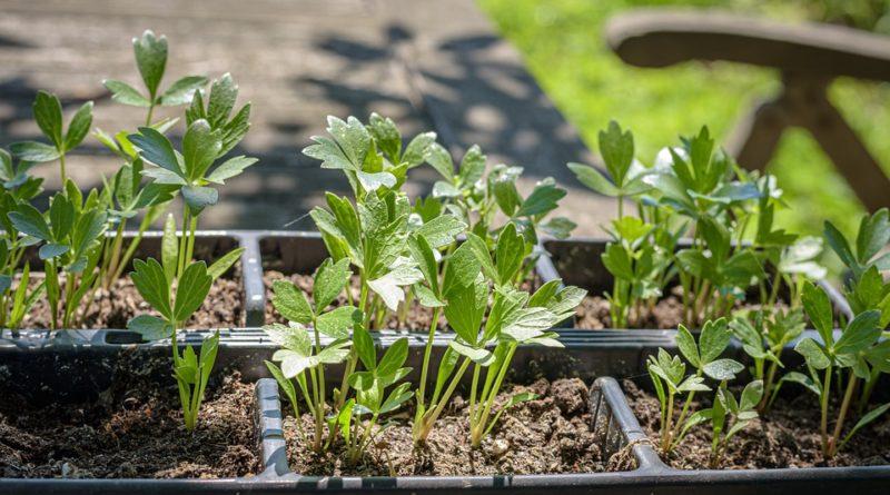 Aj bylinky môžu byť škodlivé. Na aké si dať pozor a ktoré radšej nepestovať?