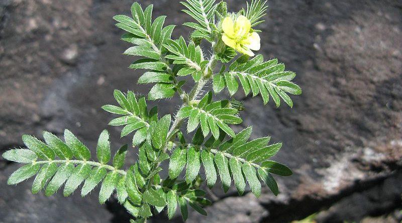 Ako sa pestuje kotvičník, takzvaná viagra zo záhradky?