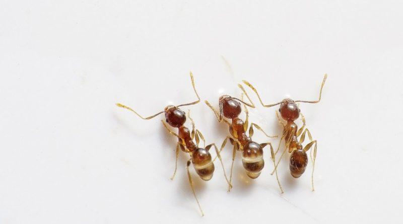 Ako sa zbaviť mravcov v kuchyni aj v obývačke