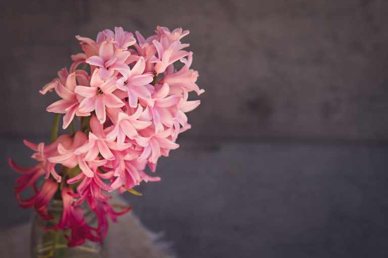 Pestujeme hyacinty. Ako na to?