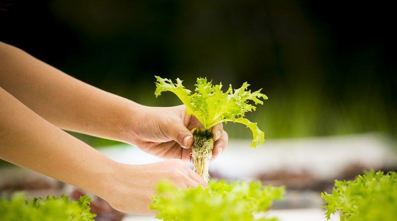 Tipy pre pestovanie zeleniny. Vypestujte si šťavnatá paradajky a skvelé uhorky